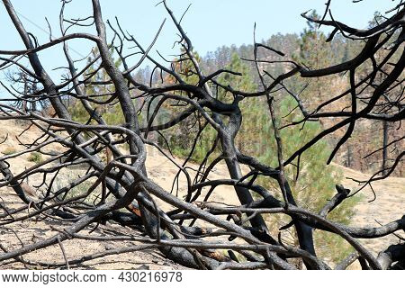Abstract Image Of Charcoaled And Twisted Branches Burnt From A Past Wildfire Taken On A Parched Fore