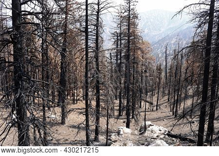Burnt Pine Trees Caused From A Past Wildfire On A Parched Charcoaled Landscape Taken At An Arid Fore