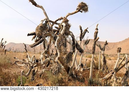 Burnt Joshua Trees Caused From A Past Wildfire On A Charcoaled Landscape Taken At A Drought Stricken