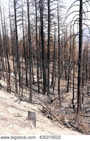 Burnt Pine Trees On A Charcoaled Landscape Caused From A Past Wildfire Taken At A Drought Stricken A