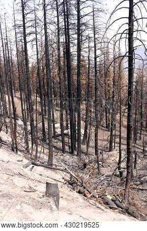 Burnt Pine Trees Caused From A Past Wildfire During A Prolonged Drought Taken On An Arid Charcoaled