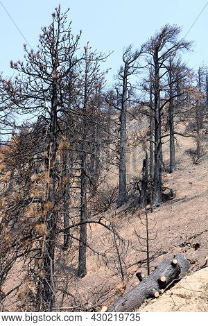 Burnt Pine Trees Caused From A Past Wildfire On A Charcoaled Landscape Taken At An Arid Mountain Rid