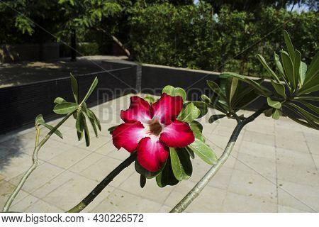 Beautiful Ornamental Flowering Bonsai Plant Adenium Also Known As Desert Rose Or Japanese Frangipani