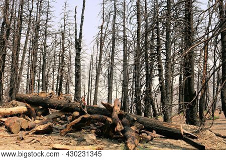 Burnt Pine Trees On A Parched Charcoaled Landscape Caused From A Wildfire Taken At A Burn Area In Th