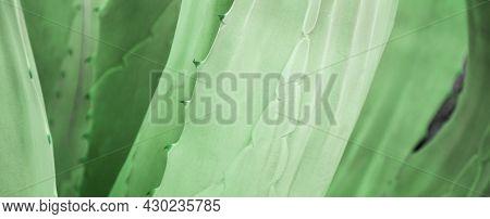 Aloe Vera Plant Natural Background. Long Web Banner. Fresh Green Aloe Vera Leaves Texture As Abstrac