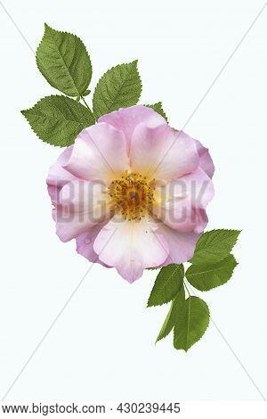 Rosa Odorata Or Dog Rose Isolated On White Background. Wild Rose