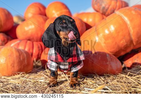 Funny Dachshund Puppy In Checkered Shirt Stands By A Pile Of Ripe Pumpkins And Licks Its Lips, Illum