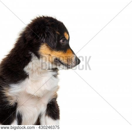Side view of a Black and tan Puppy Miniature American Shepherd, fourteen weeks old