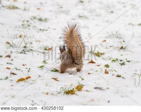 A Rear View Of A Squirrel In Grey Winter Coat Against The Snow Background. The Magnificent Tail Of A