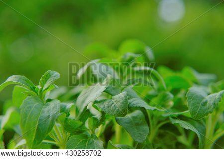 Stevia Rebaudiana On Blurred Green Background.stevia Plant.alternative Low Calorie Vegetable Sweeten
