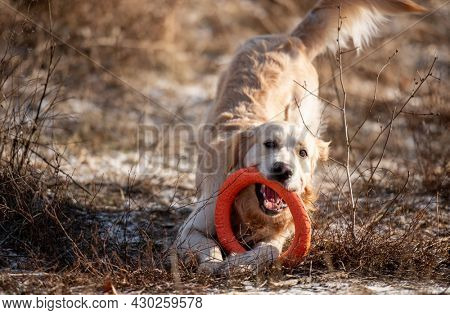 Golden retriever dog playing with orange toy circle holding it in his mouth in the field with dry grass outdoors. Cute doggy labrador at the nature in spring time