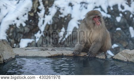 Japanese Snow Monkey Macaque Prevent Cold Near The Hot Spring Pond. Japan
