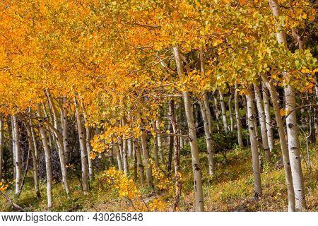 Aspen trees in Colorado with fall foliage