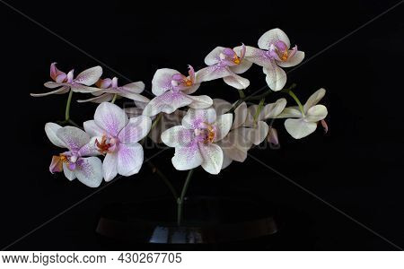 White Blooming Orchid Phalaenopsis Flower On A Black Background. Close-up.