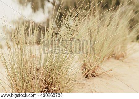 Grass Growing Wild In Sandy Desert. Desert Vegetation, Dubai, United Arab Emirates