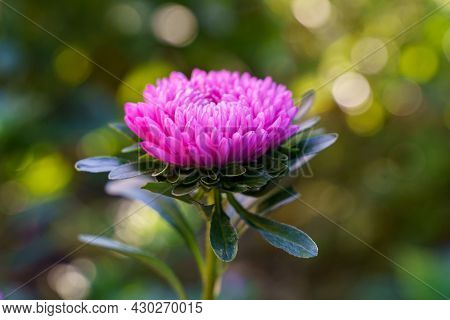 Astra Pink Flower Macro Shot Natural Light Growing In The Garden. High Quality Photo