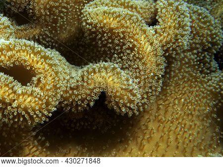 A Brown Mushroom Soft Coral Cebu Philippines