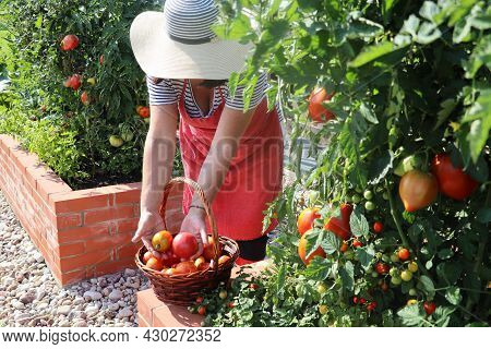 Woman Gardener Picking Vegetables .raised Beds Gardening In An Urban Garden Growing Plants Herbs Spi