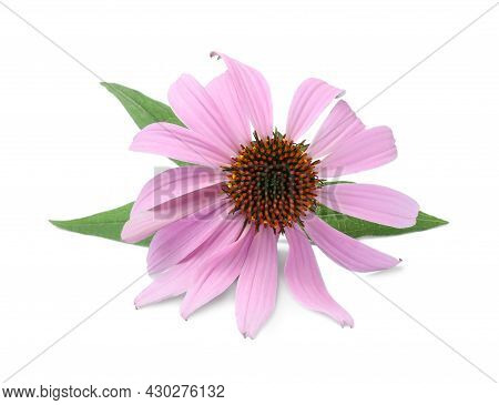 Beautiful Blooming Echinacea Flower With Leaves Isolated On White