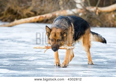 German shepherd with stick going on the ice poster