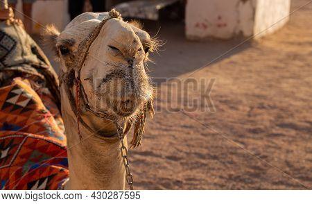 Camel Close Up In The Sun In Africa