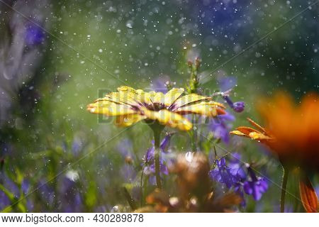 Bright Flowers During A Summer Downpour. Shallow Depth Of Field, Boke.