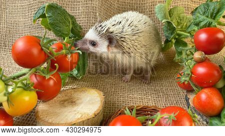 Little Hedgehog Sniffing Red Tomato On Burlap Background