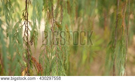 Cypress Coniferous Tree In Garden, California Usa. Natural Botanical Close Up Background. Atmosphere