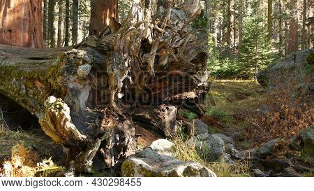 Roots Of Fallen Sequoia, Giant Redwood Tree Trunk In Forest. Uprooted Large Coniferous Pine Lies In