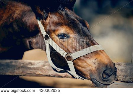 Portrait Of A Brown Colt. The Sports Foal In A Halter In The Levada. Nose Horse In A Halter. Horse M