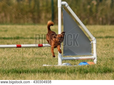 Dog Is Running In Agility Trail.  Amazing Evening, Hurdle Having Private Agility Training For A Spor