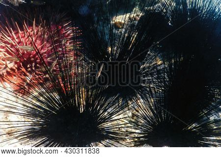 Common Long Spined Sea Urchin, (diadema Antillarum) Underwater
