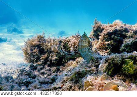 White-spotted Puffer Underwater (arothron Hispidus) Marine Life