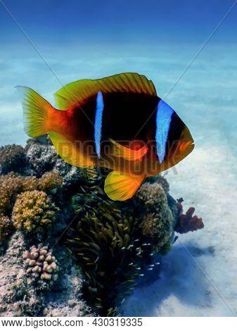 Red Sea Clownfish (amphiprion Bicinctus) Red Sea, Marine Life