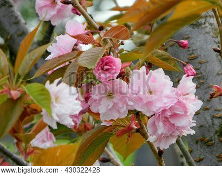 Spring Magnolia Flower Leafs Of Apple And Appel Blossom In Spring. Spring Flower In A Garden Close U