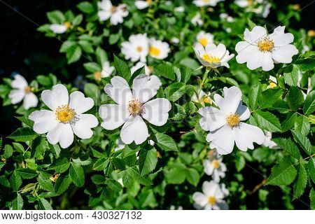 Large Bush With Delicate Light Pink And White Rosa Canina Wild Flowers In Full Bloom And Green Leave