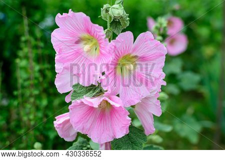 Many Delicate Pink Magenta Flowers Of Althaea Officinalis Plant, Commonly Known As Marsh-mallow In A