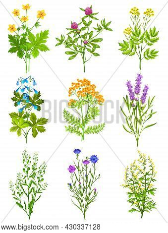 Collection Of Wild Herbs Isolated Colored Decorative Elements On White Background With Tansy Chicory
