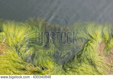 Close-up On The Background Of Green Algae. Green Algae In Seawater.
