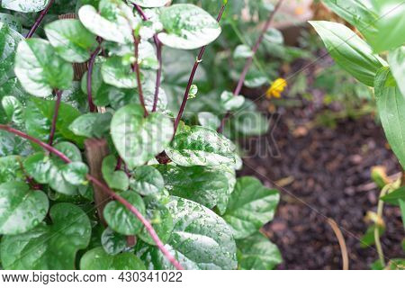 Red Malabar Spinach Basella Alba Vines With Water Drop Growing In The Garden In Texas, Usa