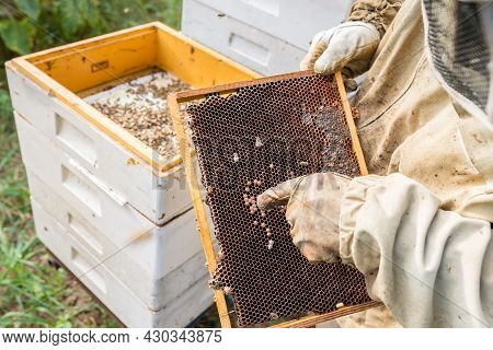 Work In The Apiary. Beekeeper Taking Out A Wooden Honeycomb Frame From A Hive To Collect Honey. Beek