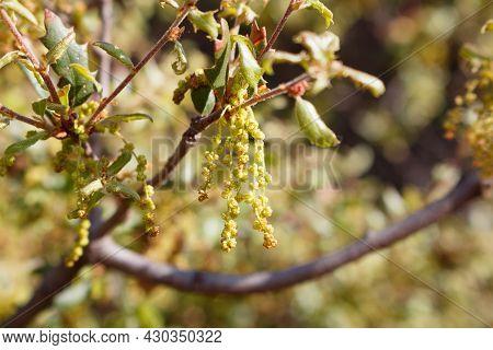 Yellow Green Axillary Indeterminate Staminate Catkin Inflorescences Of California Scrub Oak, Quercus