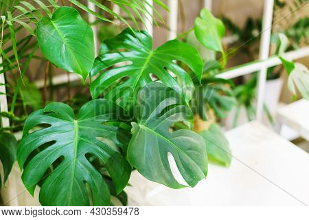 Monstera Leaves Or Swiss Cheese Factory Or Monstera Gourmet In Nature, Tropical Green Leaves Backgro