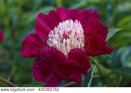 Flower Red Peony Lactiflora Ursa Major In Summer Garden On Natural Blurred Green Background,  Closeu