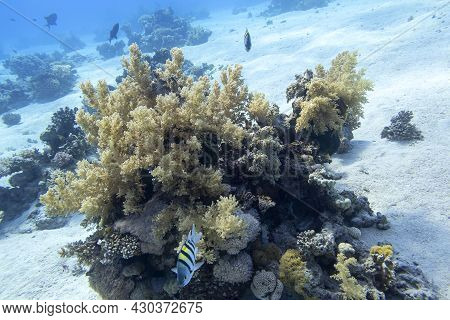 Colorful Coral Reef At The Bottom Of Tropical Sea, Broccoli Coral And Sergeant Major Fishes, Underwa