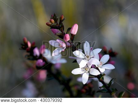 Nature Background Of White Flowers And Pink Buds Of The Australian Native Box Leaf Waxflower, Philot