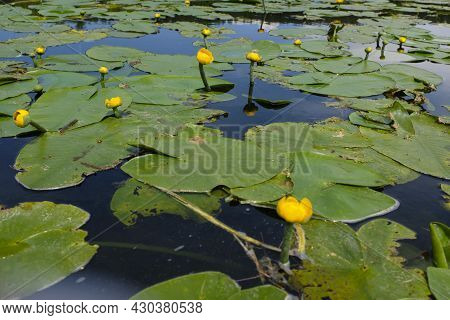 Yellow Marsh Lily On The Water Surface, Marshes Of Belarus.