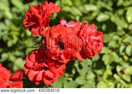 Rose Alain Red Flowers - Latin Name - Rosa Alain