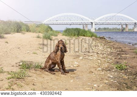 Young Three Month Old Irish Setter Puppy Close-up On The River Bank On A Sunny Day