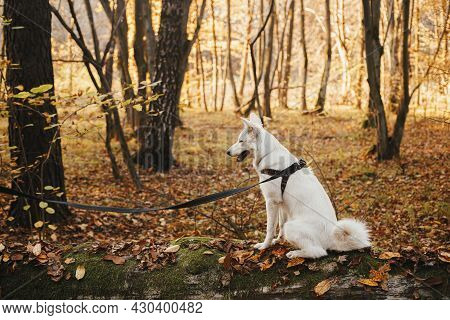 Cute Dog Sitting On Old Fallen Tree In Sunny Autumn Woods. Adorable  Swiss Shepherd White Dog In Har